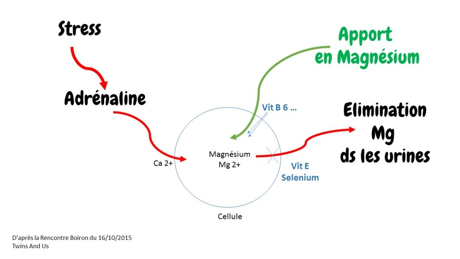 Magnesium intracellulaire