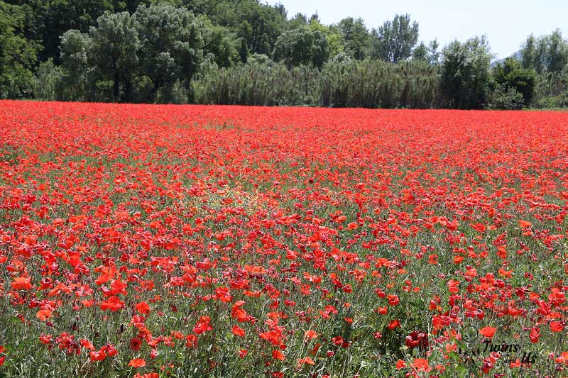 coquelicots-champs-vaucluse-provence