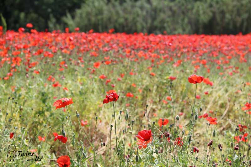 coquelicots-vaucluse-provence