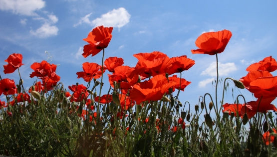 Serial Coquelicots, série photo 2019
